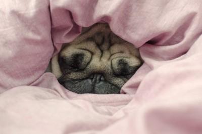 布団から顔だけ出して眠るパグ