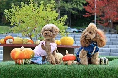 かぼちゃとプードル