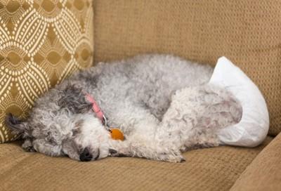 おむつ姿で眠る犬