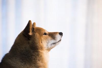 遠くを見ている柴犬