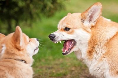 他の犬に歯をむき出す柴犬