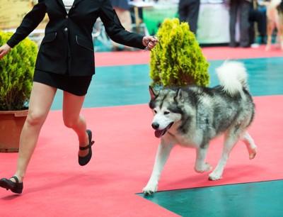 女性ハンドラーと一緒に歩くハスキー犬