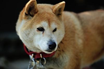 柴犬の老犬、赤い首輪