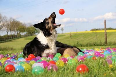 ボールを口でキャッチする犬