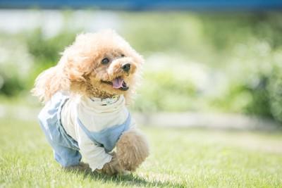 芝生を走る洋服を着たトイプードル