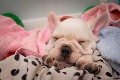 毛布とフレンチブルドッグ