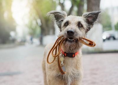 リードをくわえて見つめる犬