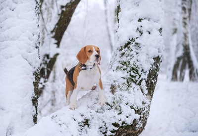 雪の中佇むビーグル
