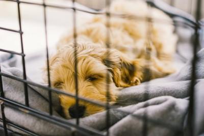 クレートで寝る犬