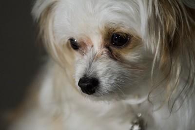目線を逸らす白い小型犬