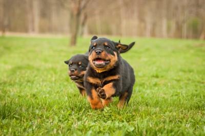 草原を走っている2匹のロットワイラーの子犬