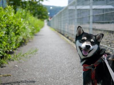 散歩中に笑顔で振り返る柴犬