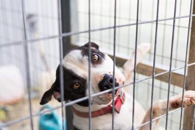 ケージの網に手をかけている犬、赤い首輪