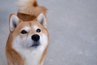 真剣な眼差しで見上げる柴犬