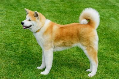 芝生の上に立つ秋田犬