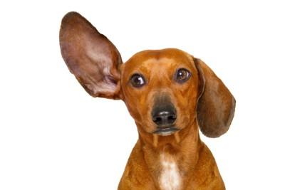 片耳を上げる茶色い犬