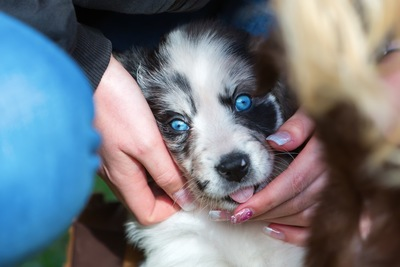 手を舐めるシベリアンハスキーの子犬