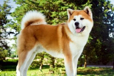 凛々しい立ち姿の秋田犬
