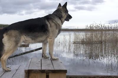 水辺で遠くを見つめる犬