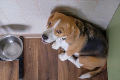 部屋の隅からこちらを見るビーグル犬