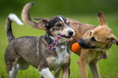 おもちゃで遊ぶ2匹の犬