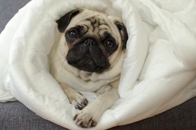 布団に包まれている犬