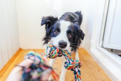 ロープ状のおもちゃで飼い主と遊ぶボーダーコリー