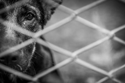 檻の中からこちらを見つめる黒い犬