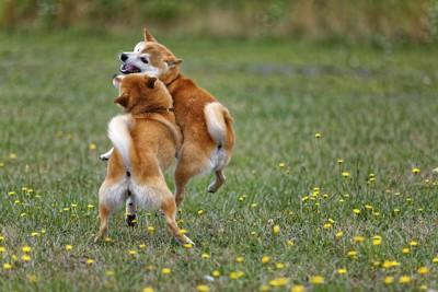 ジャレ合う2頭の柴犬