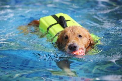 泳いでボールを運ぶゴールデン