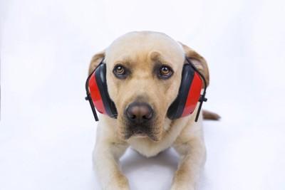 ヘッドフォンを付けた犬