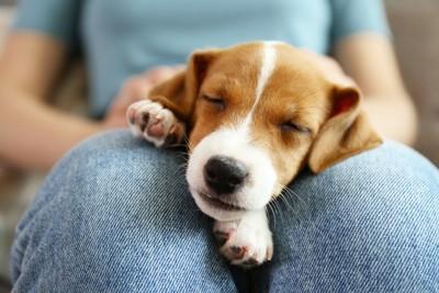 飼い主さんの膝の上で寝る犬