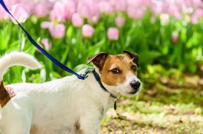 見つめる散歩中の犬