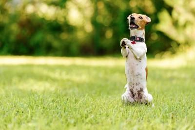 芝生で立ち上がる犬