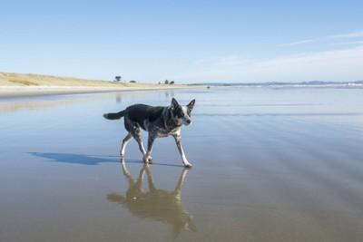 ビーチを歩く犬