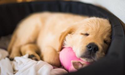 ベッドに入って眠る子犬