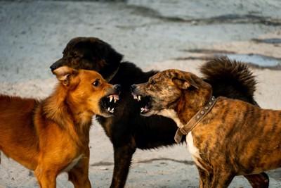 牙をむいて吠えあっている2匹の犬