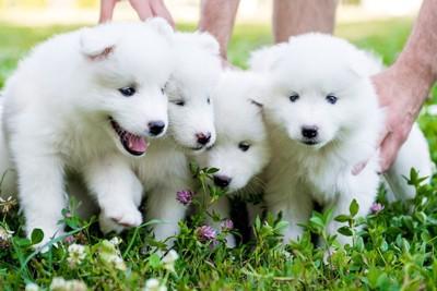 140277183  4匹のサモエドの子犬