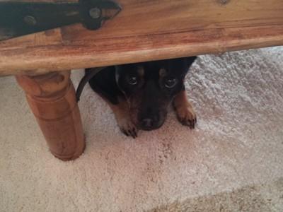 テーブルの下に隠れる黒い犬