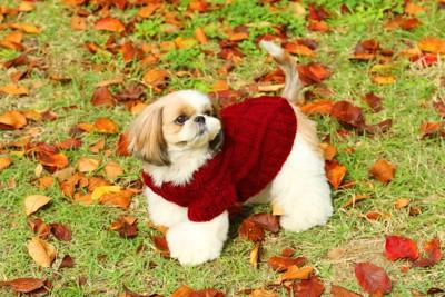 赤いセーターを着たシーズー