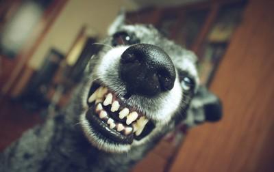 興奮して牙を見せる犬