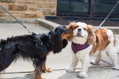 散歩中に会って顔を近づけ合う2匹の犬