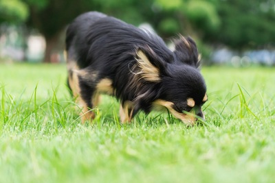 芝生のニオイを嗅ぐチワワ