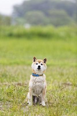 オスワリする犬