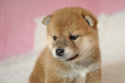 つぶらな瞳の柴犬