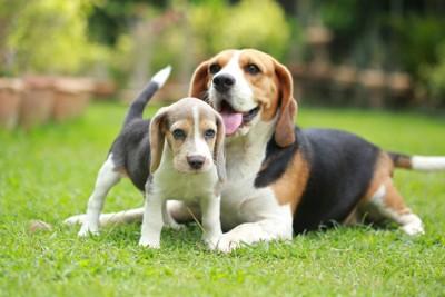 ビーグルの成犬と子犬
