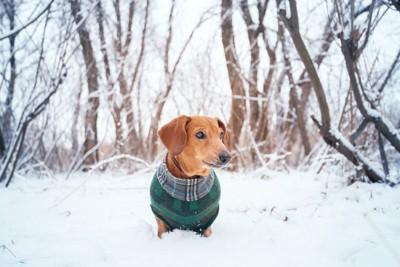 服を着た雪の中のダックス