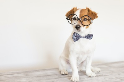 メガネとリボンをつけて座る犬