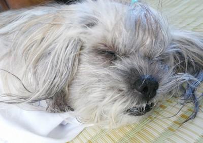 眠っている年老いたラサ