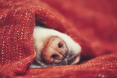 布から鼻を出して眠る犬